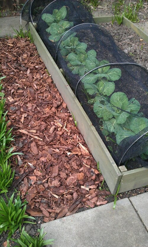Raised veg bed with cabbages