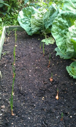 onion sets coming on nicely (with cabbages)