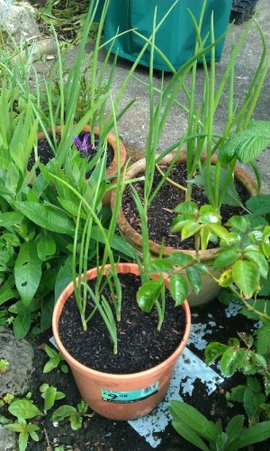 Onions in pots among the flower border