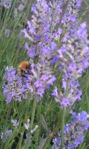Lavender in flower with a bee