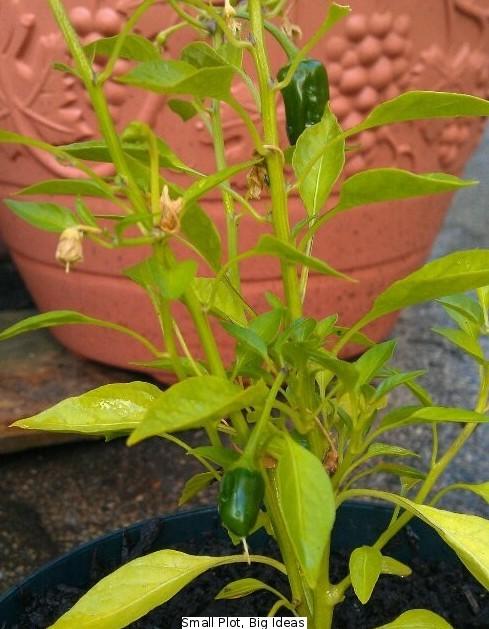 Apache chilli plant