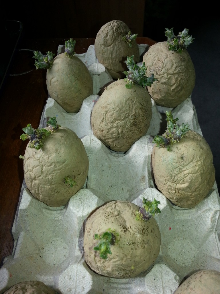 Chitting potatoes in an egg tray