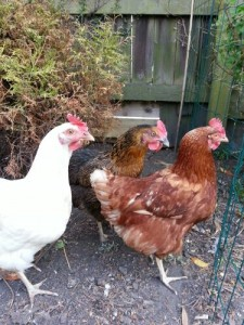 "The 3 original ""pet"" hens"