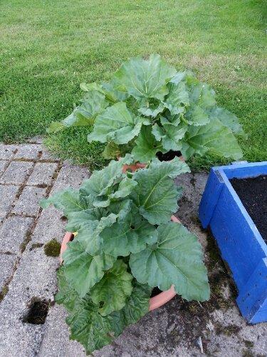 Rhubarb in pots