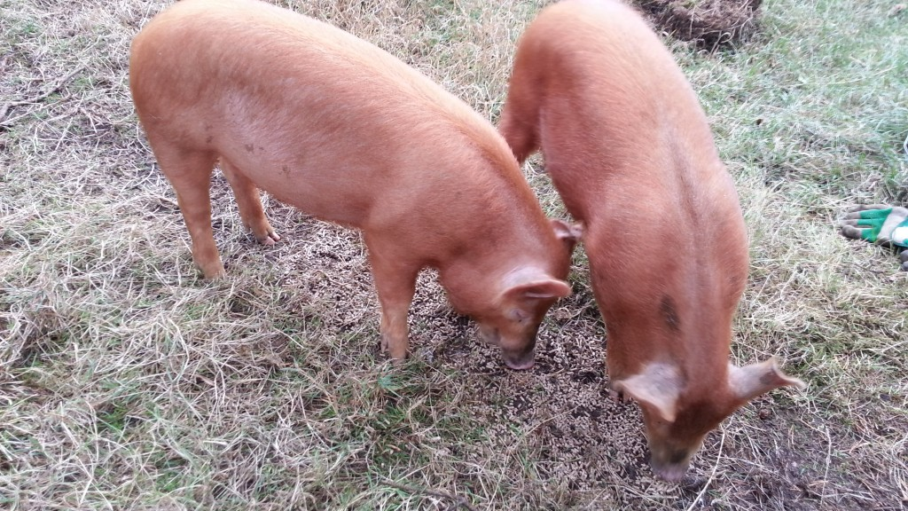 Meal time for the pigs!