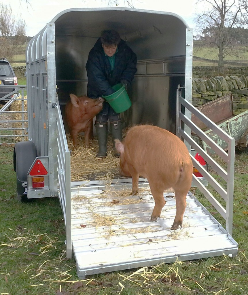 The pigs love the shiny new trailer!