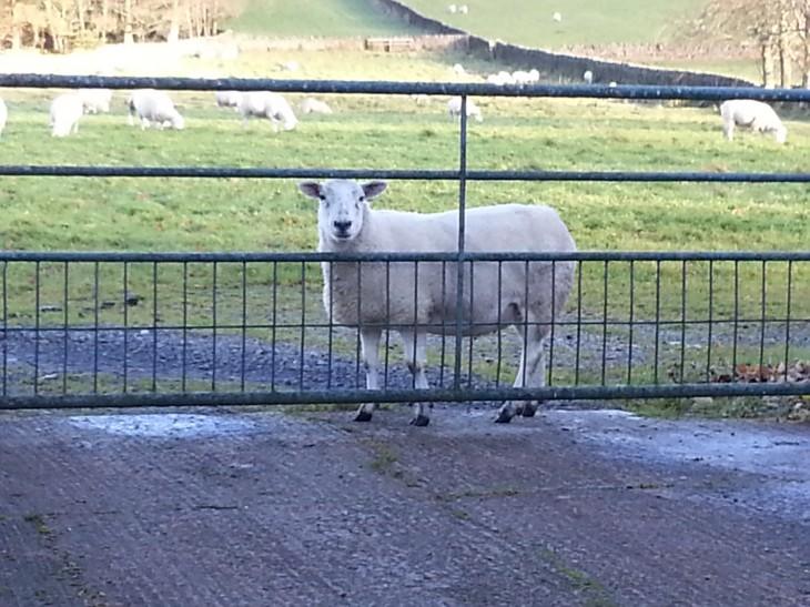 Sheep At The Gate