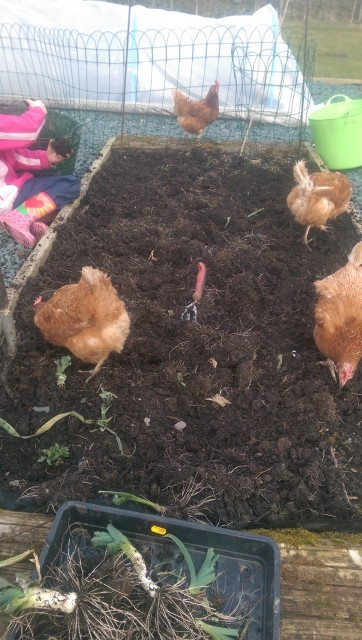 Clearing a raised bed with some little helpers