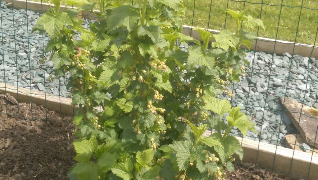 Black and Red Currants doing well