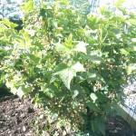 Blackcurrants looking promising