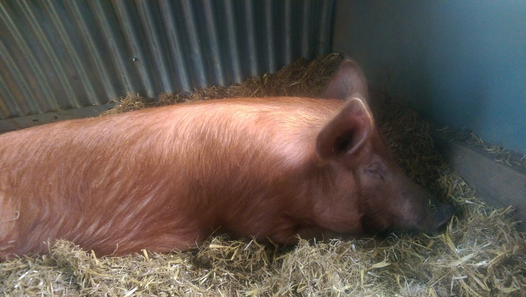 Poorly pig resting