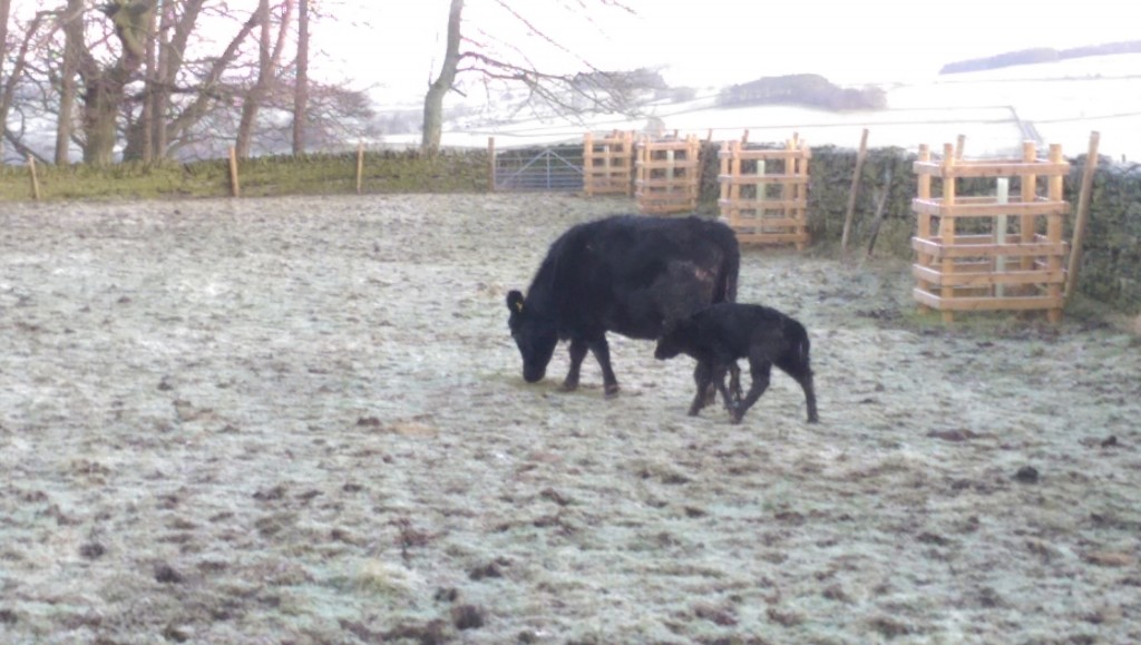 Mother and calf on a frosty first morning