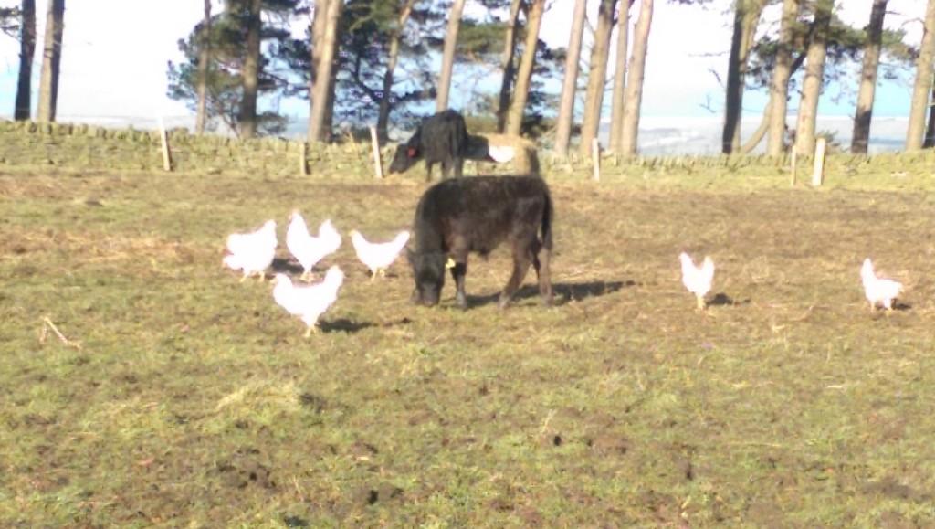 Oscar investigating chickens instead