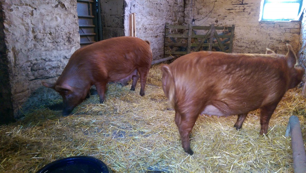 Settling in to the farrowing shed
