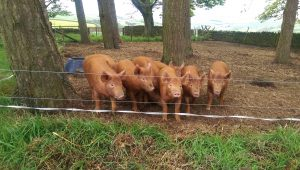 Weaners eager for breakfast
