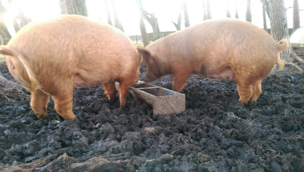 Sissy (right) is getting close to farrowing