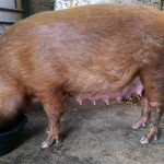 About 5 days before farrowing