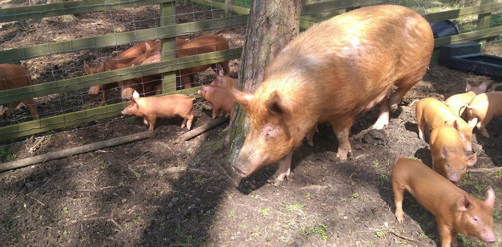 Meeting the bigger pigs next door