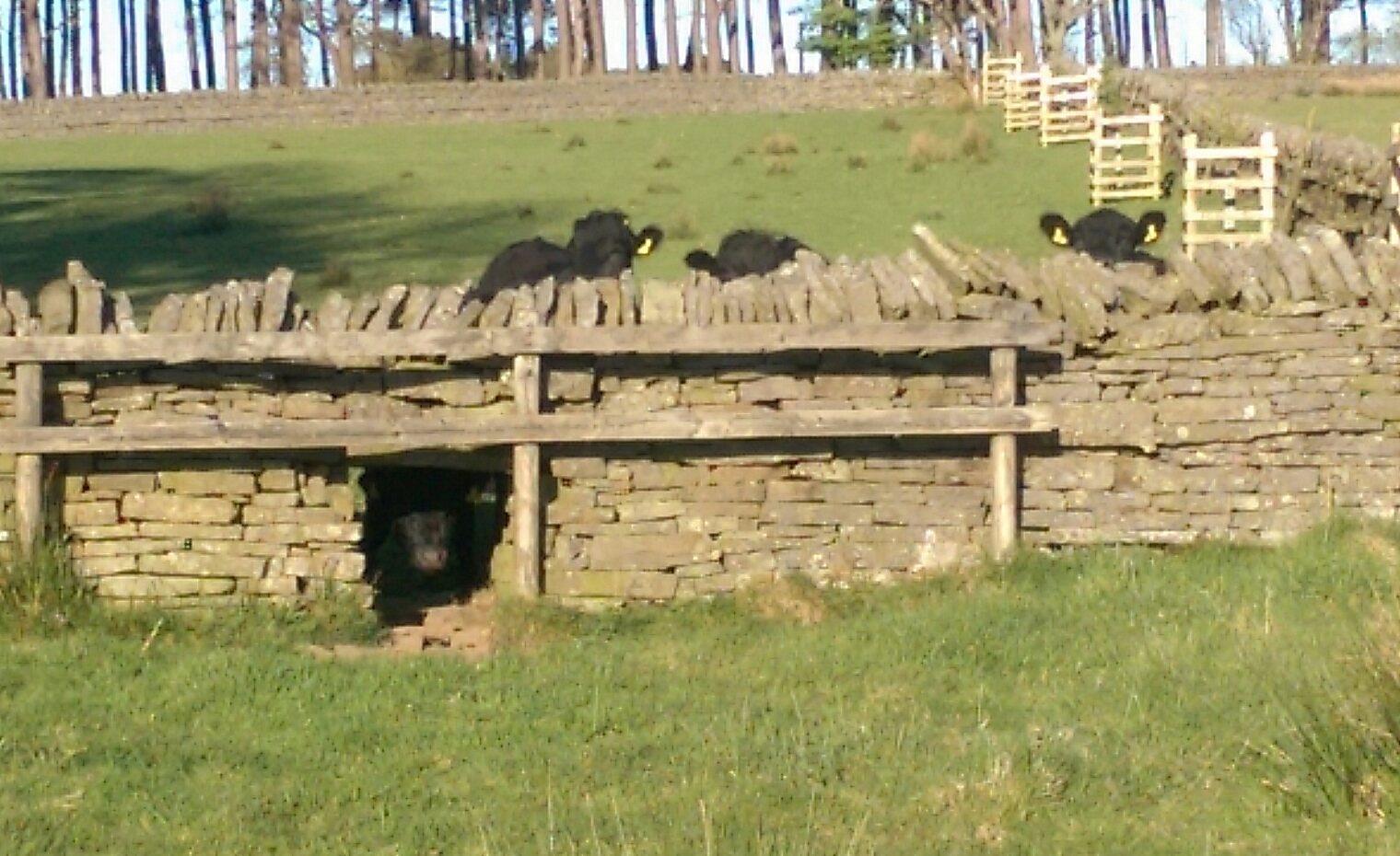 Short cows, high wall