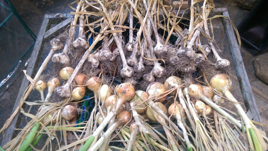 Garlic and onion crop