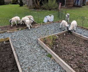 Some unwanted help with the veg beds