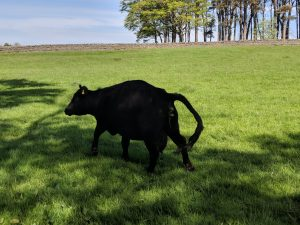 Definite signs of imminent calving