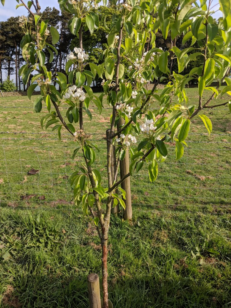 Pear blossom and bark damage