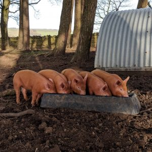 Piglets at the trough