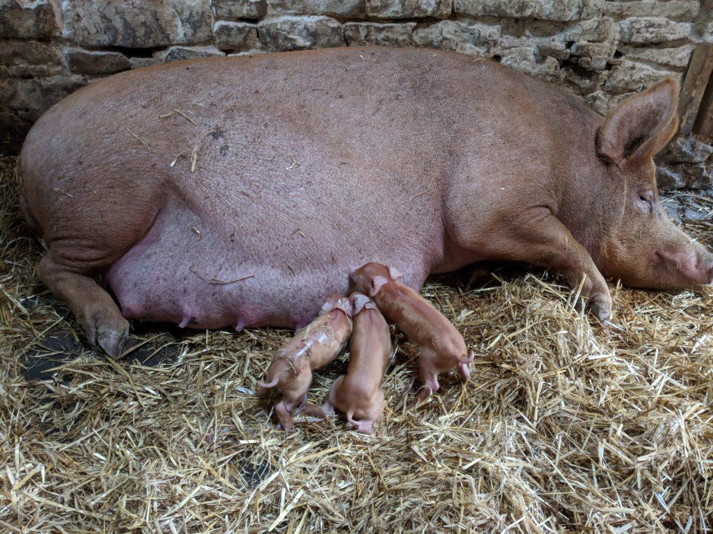 First 3 piglets