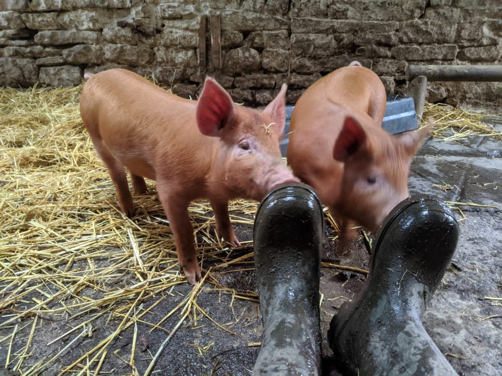 Tamworth piglets at 2 months old