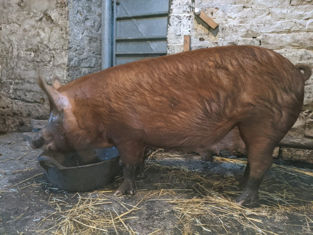 Fifi enjoying her supper in the shed